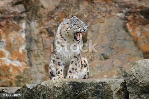 Snow leopard with open muzzle mouth with teeth, sitting in the nature stone rocky mountain habitat, Spiti Valley, Himalayas in India. Snow leopard Panthera uncia in the rock habitat, wildlife nature.