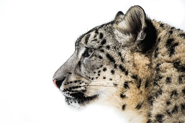 Snow Leopard XV stock photo