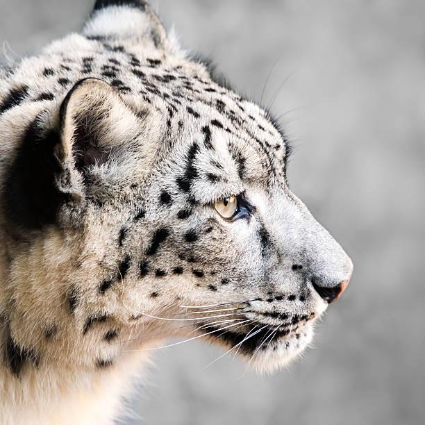 Snow Leopard XXI stock photo