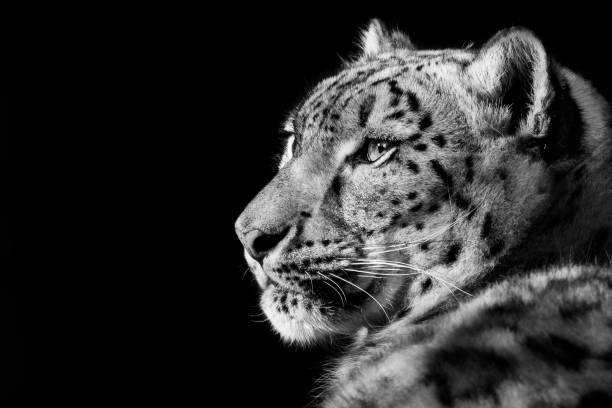 Snow Leopard XXVIII stock photo