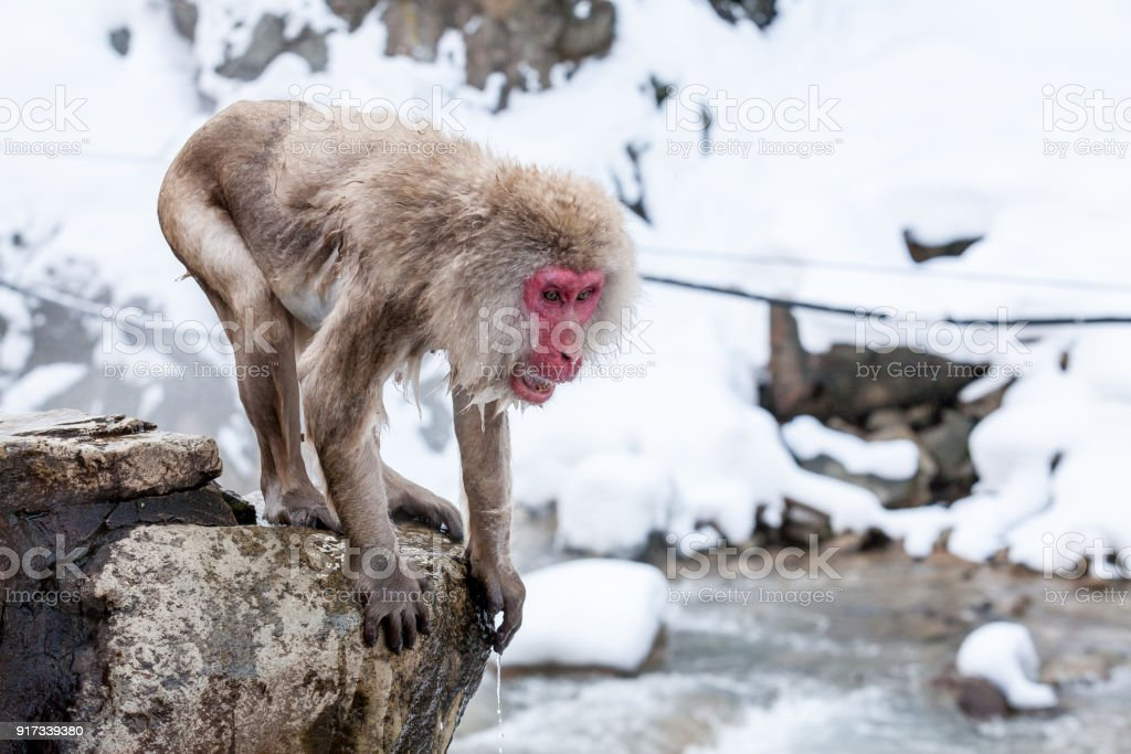 Snow monkey in a hot spring at Jigokudani Yaen-Koen (Wild Snow Monkey Park), Nagano Prefecture, Japan. stock photo