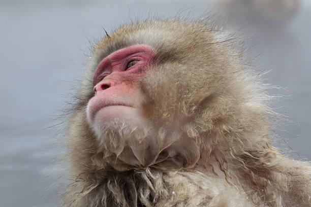 Snow Monkey In Hot Spring stock photo