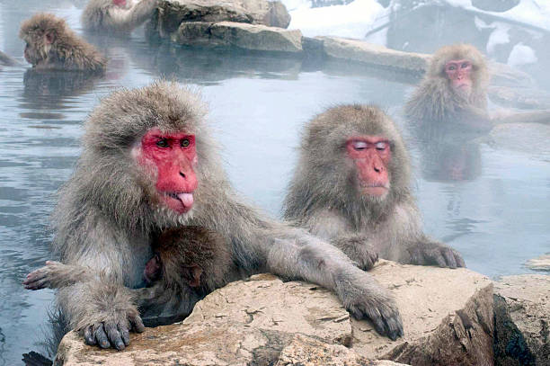 Snow Monkey In Onsen Sticks Out Tongue