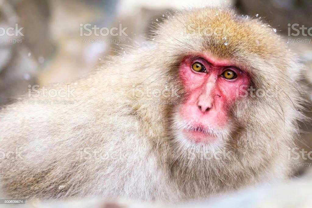 Snow Monkey in the Wild royalty-free stock photo
