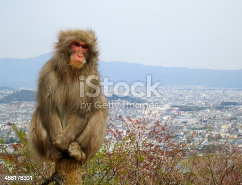 istock Snow Monkey Looking Forward 488178301