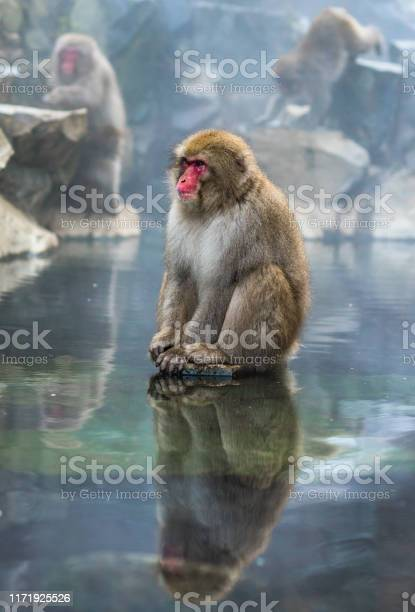 Snow monkey or japanese macaque in hot spring onsen picture id1171925526?b=1&k=6&m=1171925526&s=612x612&h=yr24tk cybs9ulumw7tuug2w6mob7rphtldwq dgabm=