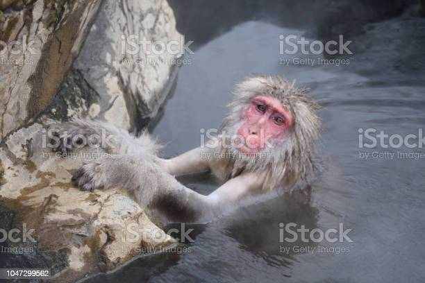 Snow monkey or japanese macaque japan picture id1047299562?b=1&k=6&m=1047299562&s=612x612&h=1cg6qrpy100d8ccz7axrbuzrecenpgbskaomunlemcs=