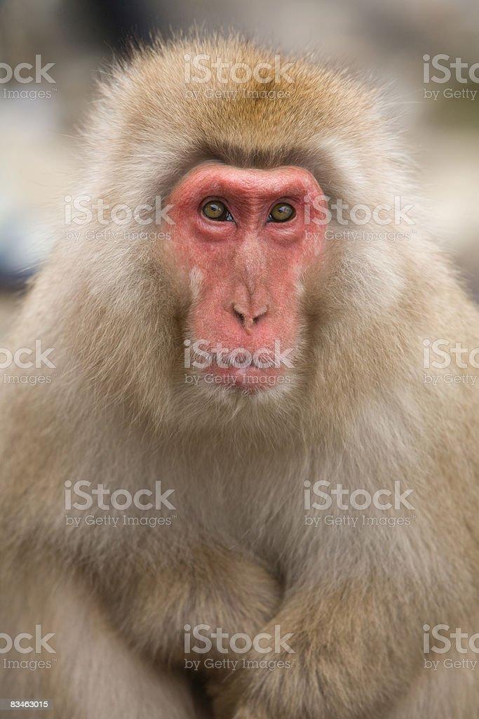 Snow monkey  foto stock royalty-free