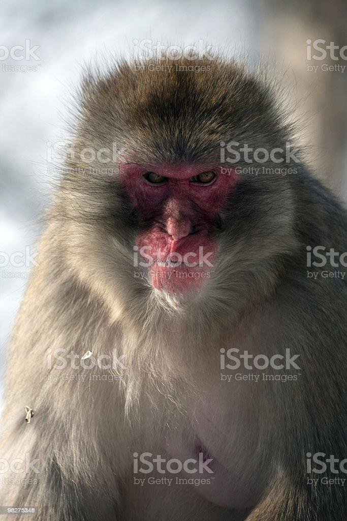 Scimmia di neve foto stock royalty-free