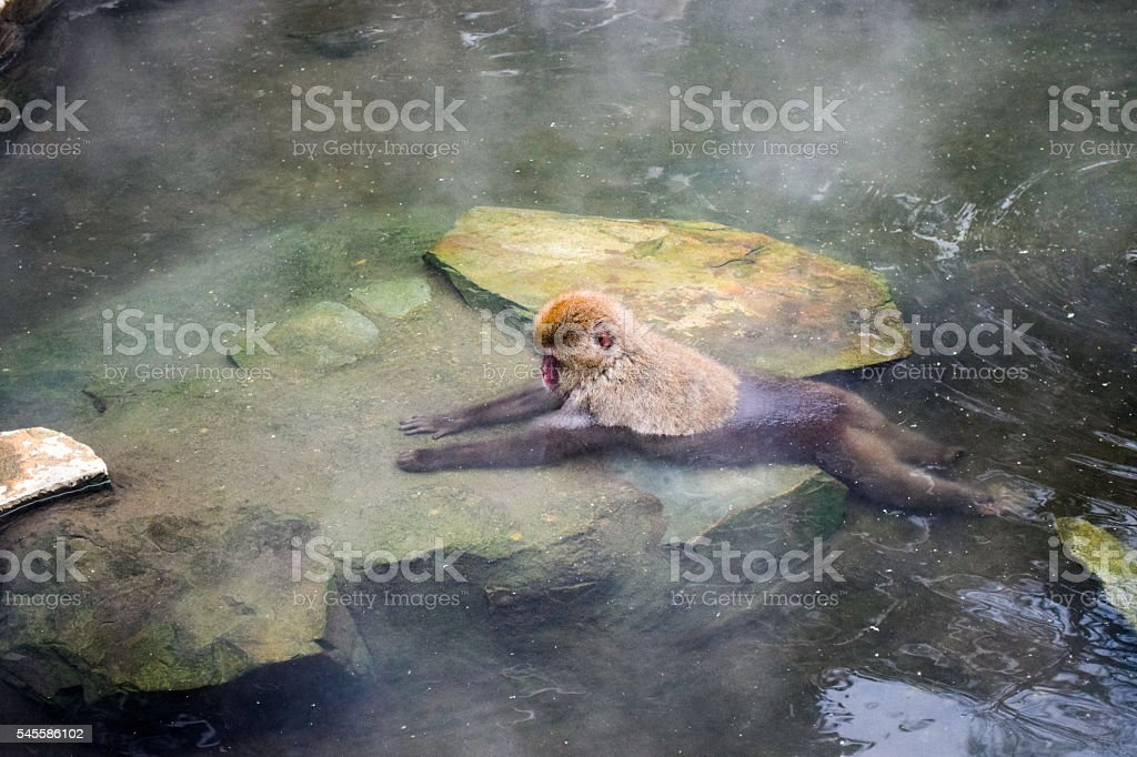 Snow monkey relaxing in onsen (Japanese thermal pool) stock photo