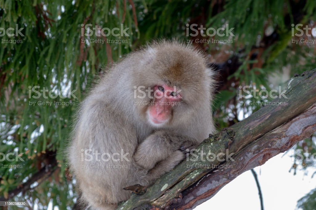 Snow monkey resting in a tree stock photo