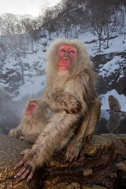 Snow Monkeys At Hot Spring stock photo