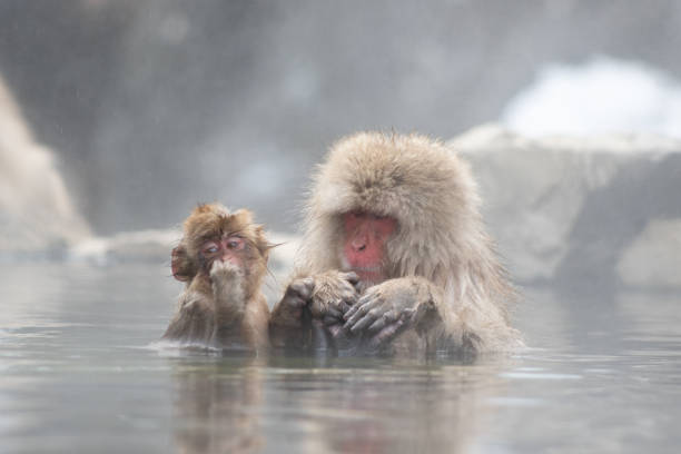 Snow Monkeys in a Hot Spring stock photo