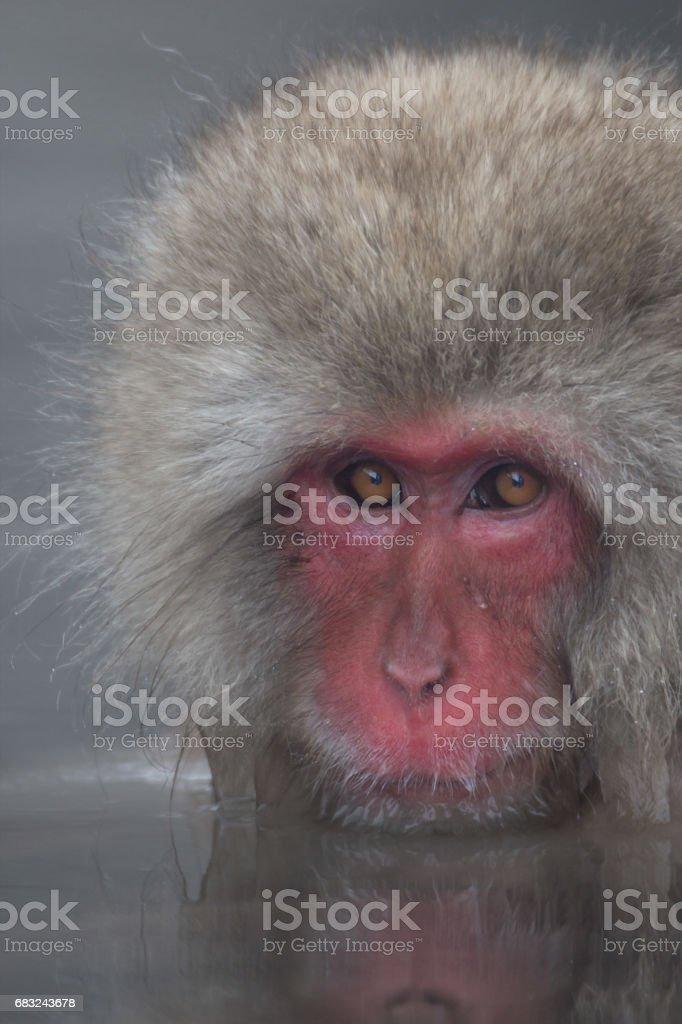 Snow Monkeys in Onsen foto de stock royalty-free