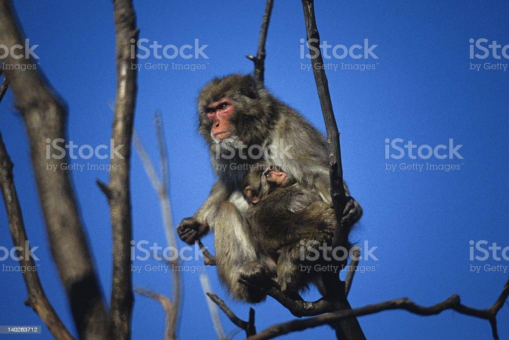 Snow Monkeys in Tree stock photo