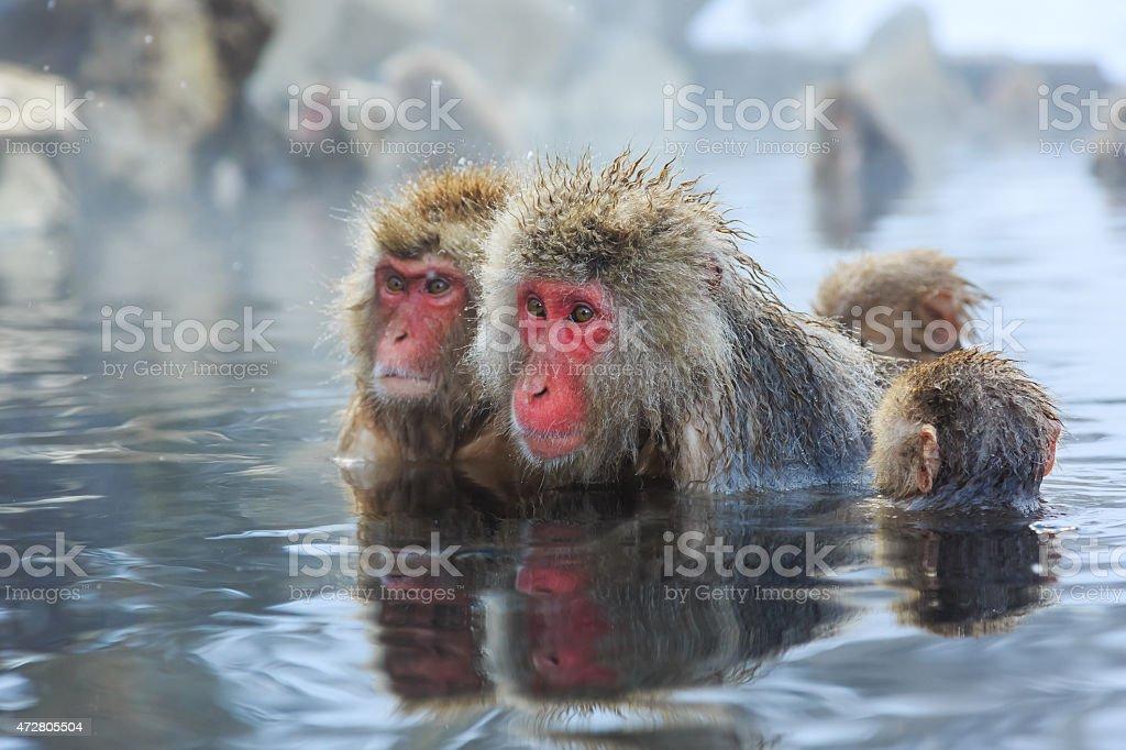 Snow monkeys, Japan stock photo