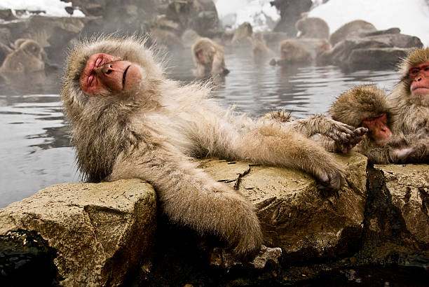 snow monkeys: old and tired - hot spring stock photos and pictures
