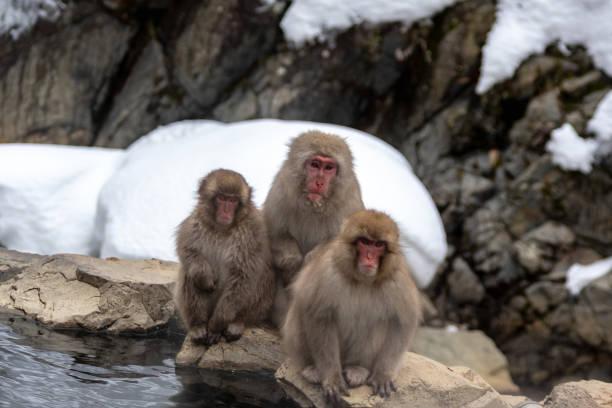 3 snow monkeys stock photo