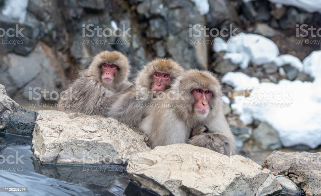 3 Snow Monkeys stock photo