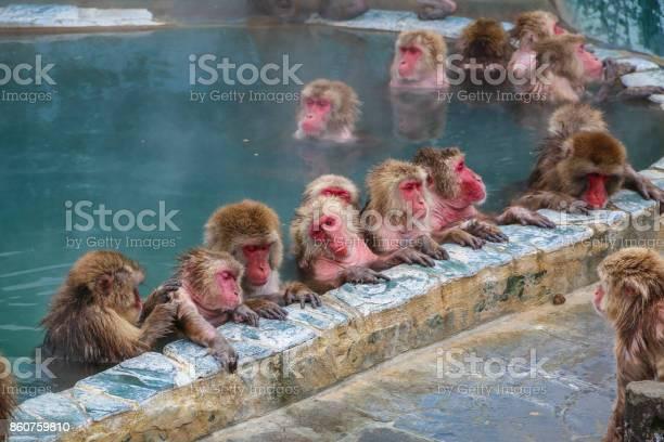 Snow monkeys relaxing in a hot spring pool hakodate japan picture id860759810?b=1&k=6&m=860759810&s=612x612&h=afbj7rdrup3in7pokpfyzufeqzn81qwbdse7ajz6uag=