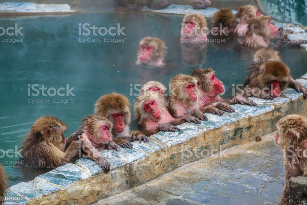 Snow monkeys (Japanese macaque) relaxing   in a hot spring pool (onsen) ,Hakodate ,Japan. stock photo