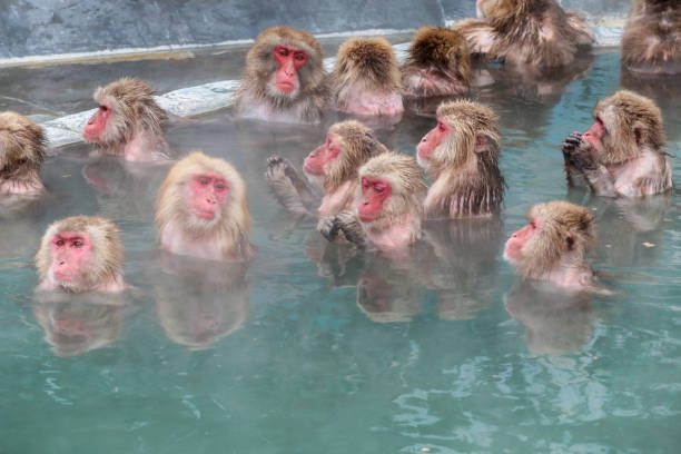 Snow monkeys (Japanese macaque) relaxing  in a hot spring pool (onsen) Close up  activities of Snow monkeys (Japanese macaque) relaxing  in a hot spring pool (onsen) animal hand stock pictures, royalty-free photos & images