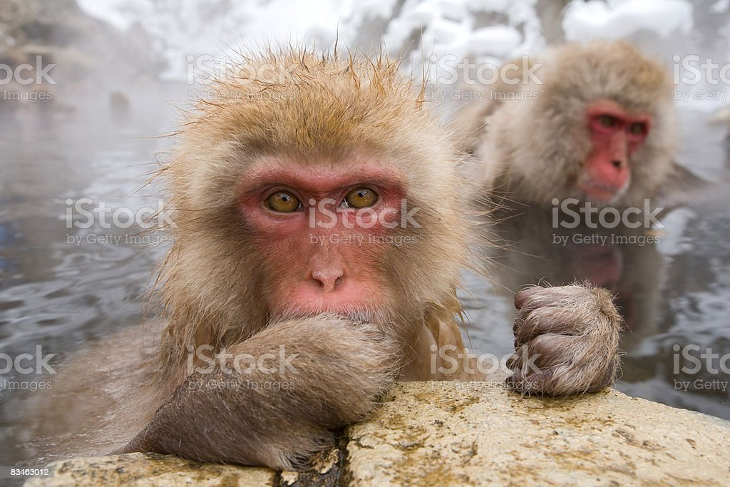 Snow monkys in water foto stock royalty-free