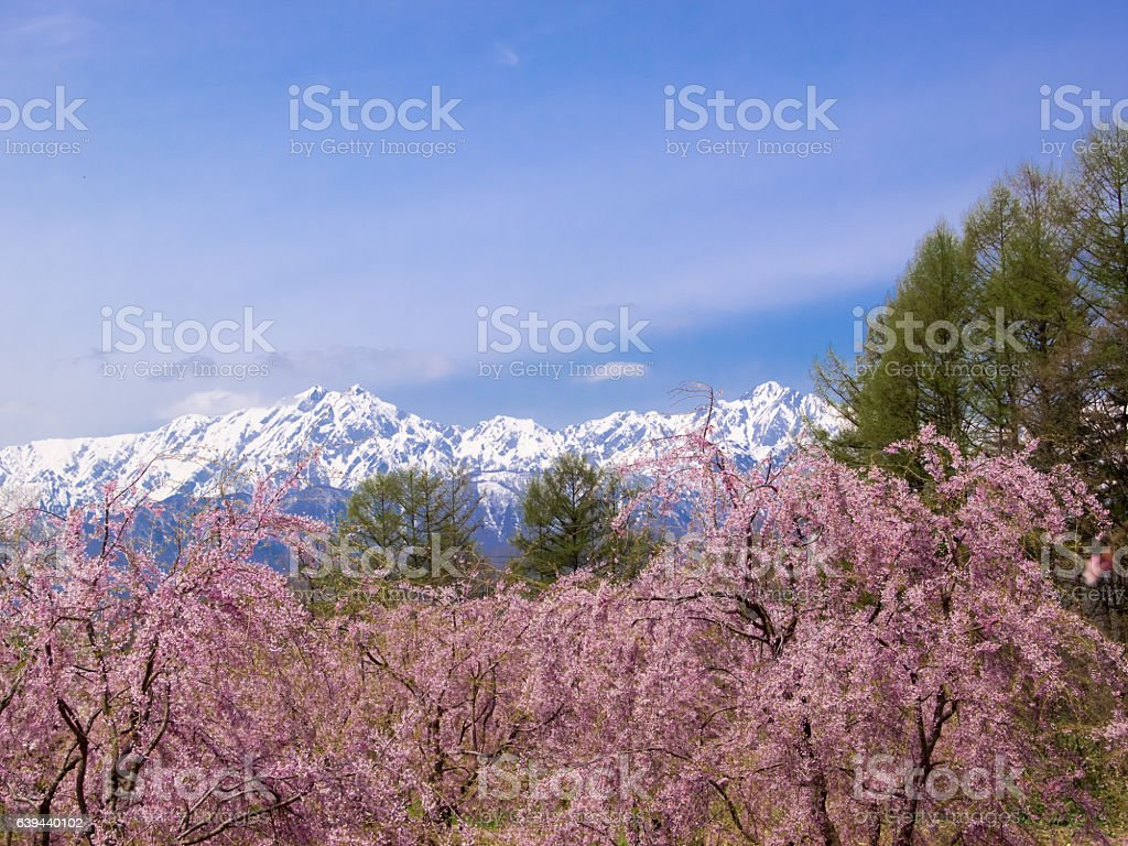 Snow mountain and Cherry flower stock photo