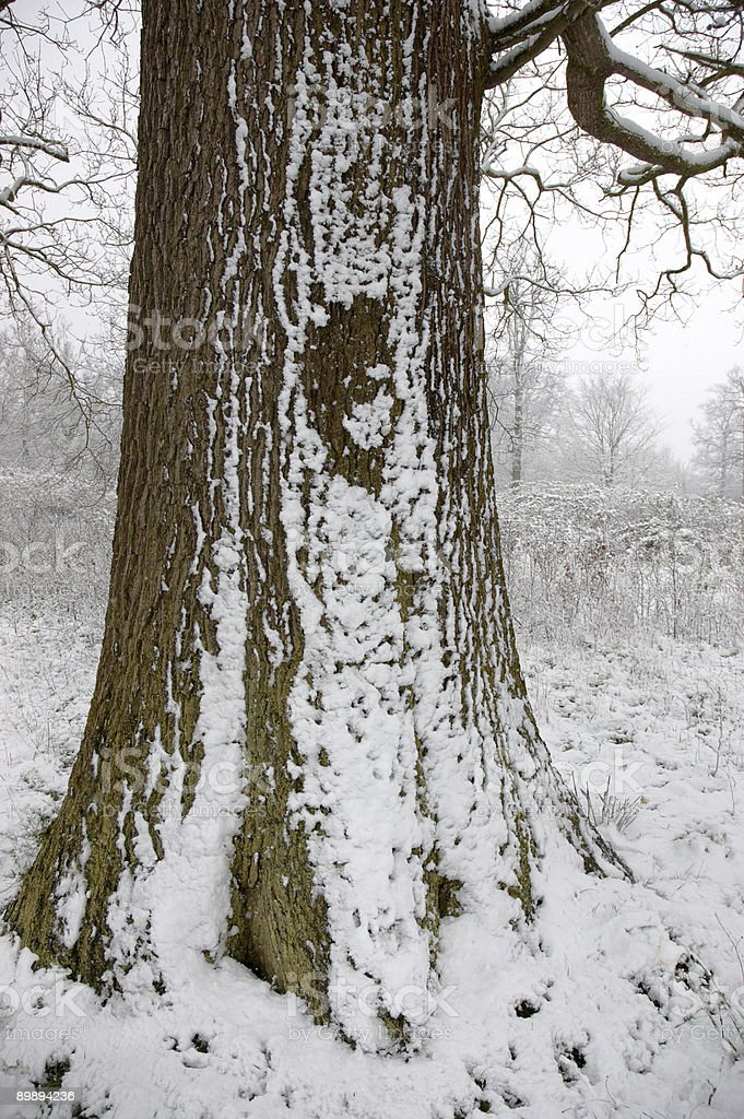 Snow on a tree trunk royalty-free stock photo