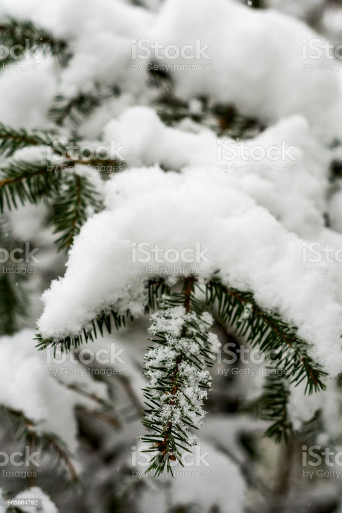 Snow on a Winter Tree, Winter Background - Royalty-free Beauty Stock Photo