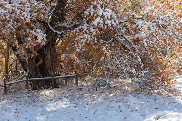 Snow on an old Cottonwood stock photo