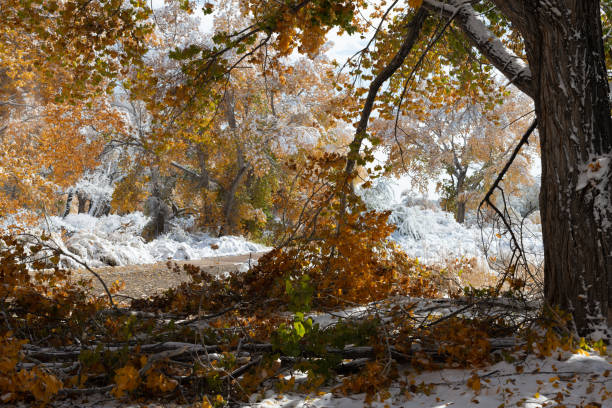 Snow on autumn cottonwoods stock photo