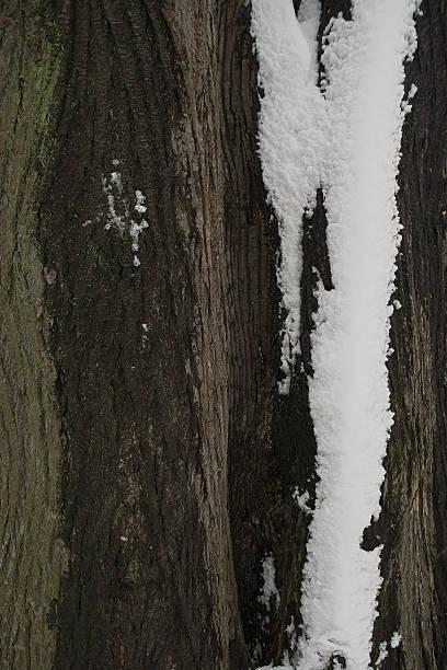 snow on bark tree - adomer stok fotoğraflar ve resimler