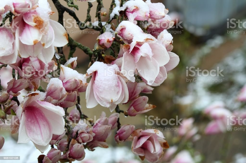 Snow on beautiful magnolia flowers in the spring stock photo
