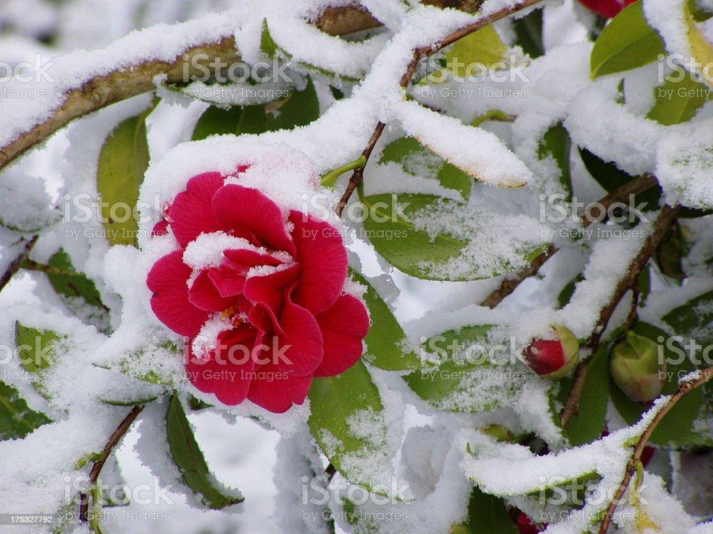 Snow on Camellia stock photo