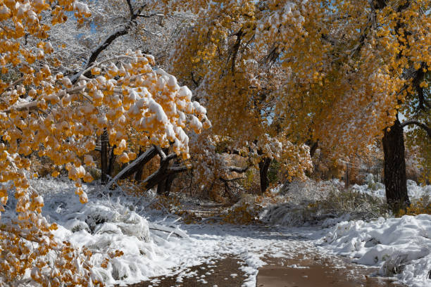 Snow on Golden Cottonwoods stock photo