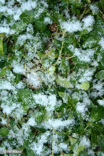 639394370 istock photo Snow on green leaf. Nature background outdoors in Poland on winter season. 1249595854