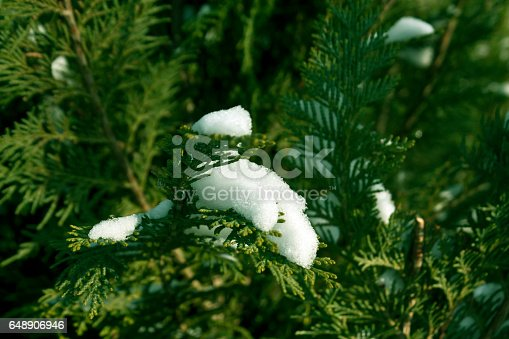 Snow on green thuja close-up. Abstract seasonal background.