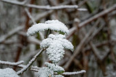 Close-Up of heavy snow on leaves and dry plan parts