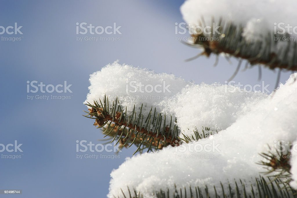 Snow on Pine Branch stock photo