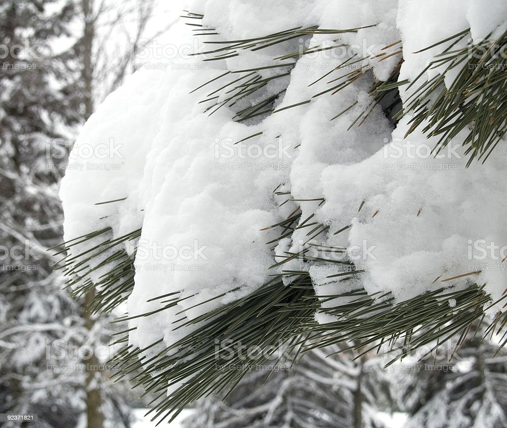 Snow on Pine Branches royalty-free stock photo