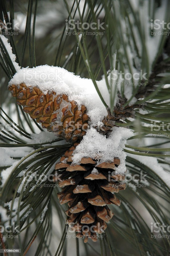 Snow on Pine Cones stock photo