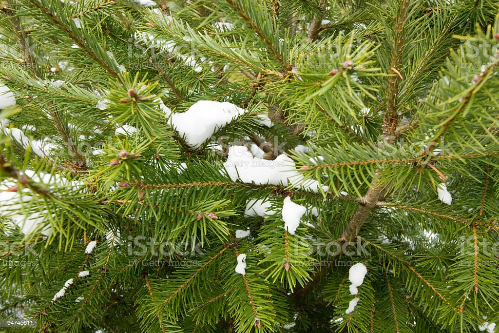 Snow on Pines royalty-free stock photo