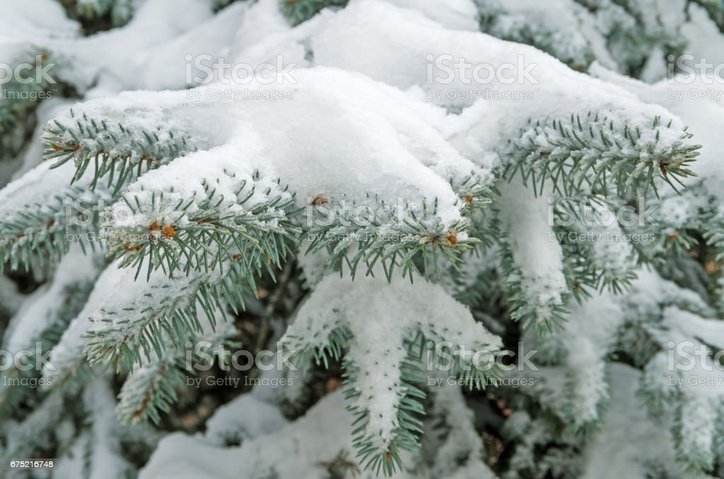 Snow on spruce royalty-free stock photo