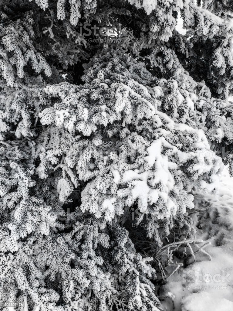 Snow on Spruce Tree stock photo