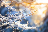 Winter bright background with snowy pine branches in the sun.