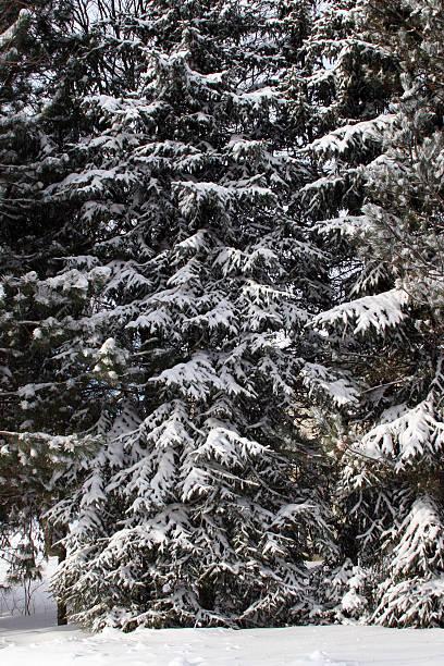 Snow on the christmas tree stock photo