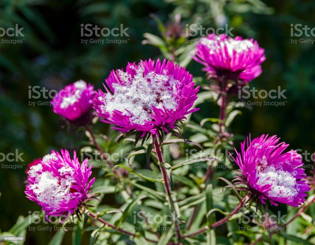 Fotografia De La Nieve Sobre Las Flores De Crisantemos Jardin