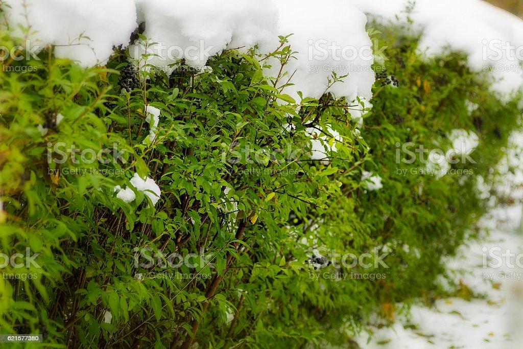 Snow on the green bushes photo libre de droits
