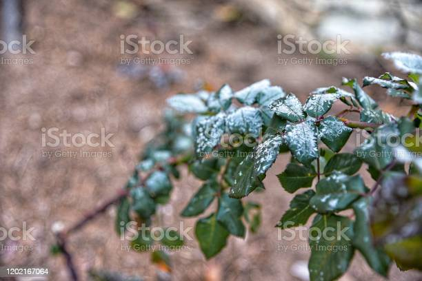 Photo of Snow on top green leaf.